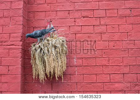 The Pigeon bird with the red brick wall.