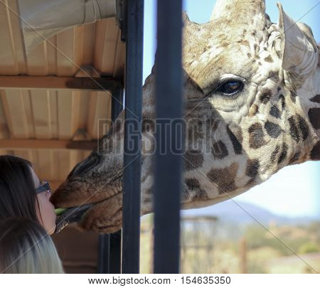 CAMP VERDE, ARIZONA - OCTOBER 13: The Out of Africa Wildlife Park on October 13, 2016, near Camp Verde, Arizona. A tourist feeds a giraffe celery from her mouth on safari shuttle bus at the Out of Africa Wildlife Park near Camp Verde Arizona.