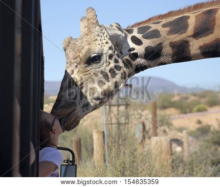 CAMP VERDE, ARIZONA - OCTOBER 13: The Out of Africa Wildlife Park on October 13, 2016, near Camp Verde, Arizona. A tourist get a big wet kiss from a giraffe on a safari shuttle bus at the Out of Africa Wildlife Park near Camp Verde Arizona.