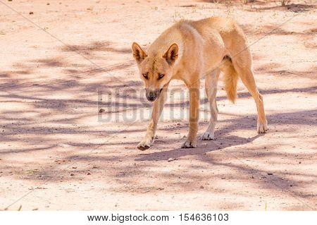 Healthy dingo walking in outback Northern Territory Australia
