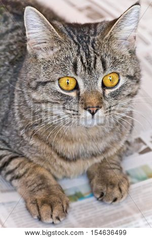 Photo of domestic tiger cat with yellow eyes