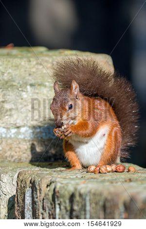 British native Red Squirrel on wall on Brownsea Island Dorset.