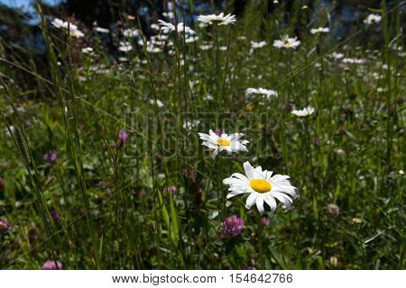 Camomile flowers in alpine meadows and grass