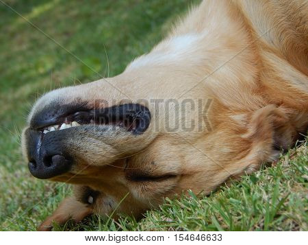 Dog sleeping in the gass with a crazy face