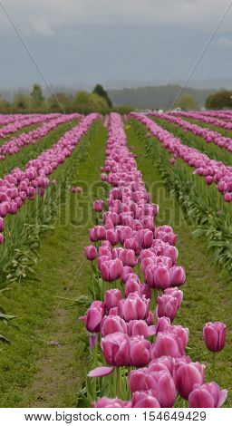 Rows of Pink Tulips Extending to the Horizon with Rain Puddles in the Furrows Between Rows