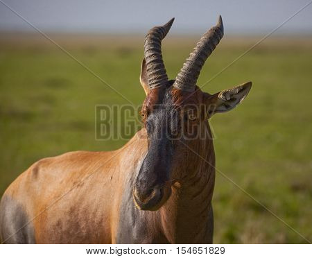A lone topi antelope stares left in a close up with the African savanna behind it