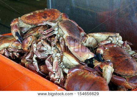 Freshly caught live edible crabs ready to be sold at the fishmongers