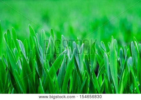 Young green grass background. Texture rich green grass closeup