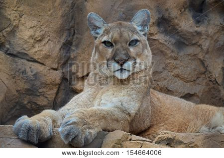 An adult puma sitting on the rocks