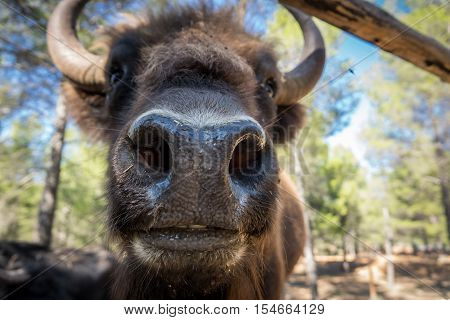 Closeup view of European bison, shallow depth of field, focus on snout, wide angle