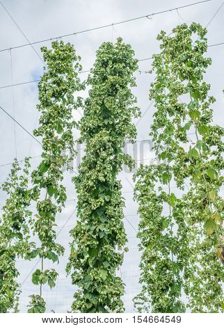 Hops yard. Hops plants climbing of special supported strings or wires.