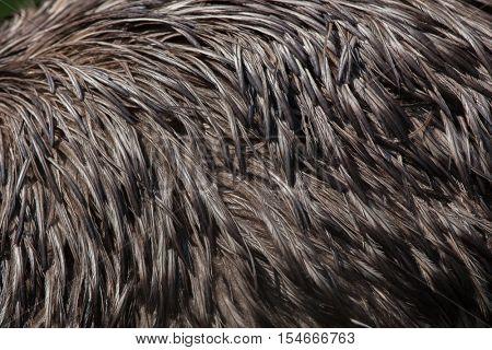 Emu (Dromaius novaehollandiae). Plumage texture.