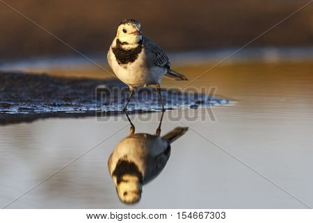 small white bird and reflection in water, Evening light on watering birds, migration, the younger generation