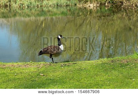 Canada Goose (Branta Canadensis) by the River Great Ouse
