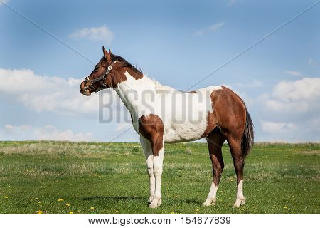 brown and white horse on green grass