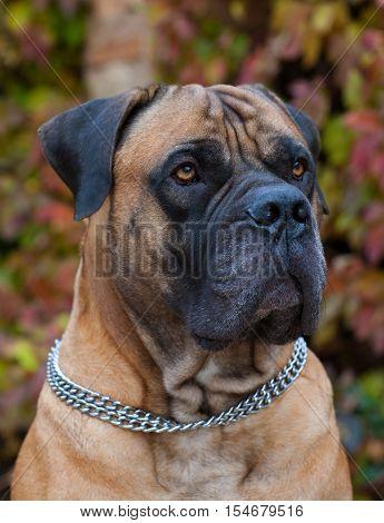 Portrait of a beautiful dog breed South African Mastiff.