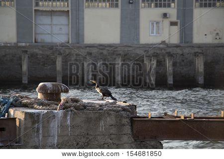 Great Cormorant at sea port. Lumpy sea