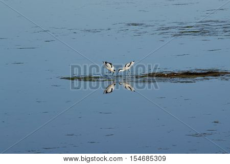 Two mutually looking Avocets are reflected in the Neusiedler Lake - austria