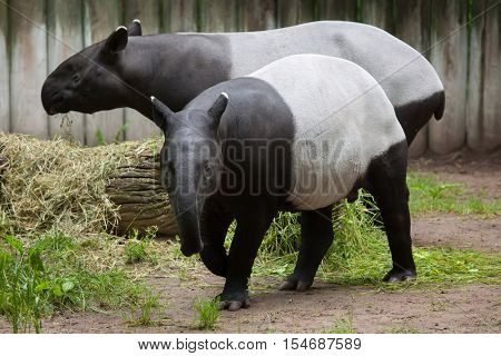 Malayan tapir (Tapirus indicus), also known as the Asian tapir. Wildlife animal.