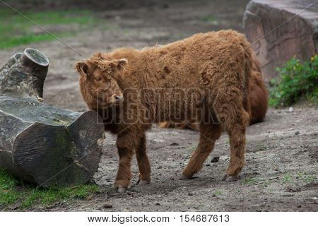 Scottish highland cattle (Bos primigenius taurus) calf. Domestic animal.