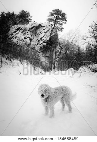 labradoodle with a snowy muzzle on the Deer Creek trail in the mid of winter.