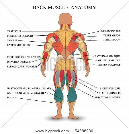 Anatomy of human muscles in the back a template for medical tutorial banner. Vector illustration.