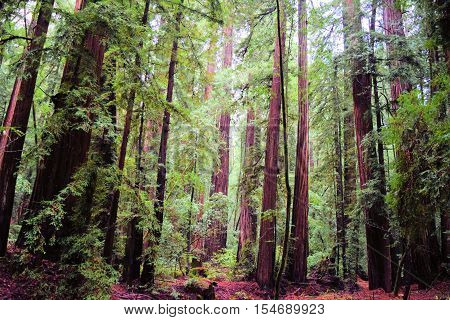 Dense Coastal Redwood Forest which are the tallest trees in the world taken in coastal Northern California