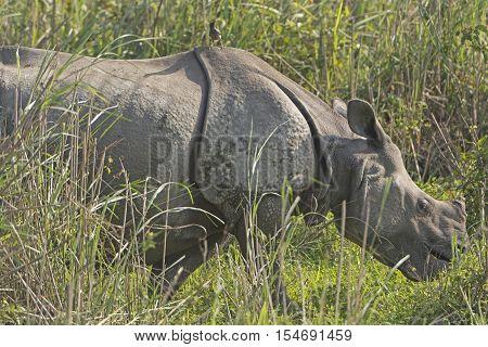 Indian Rhino with bird in the Grassland in Kaziranga National Park in India
