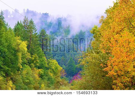 Lush green forest with trees changing colors during autumn foliage surrounded by fog and mist