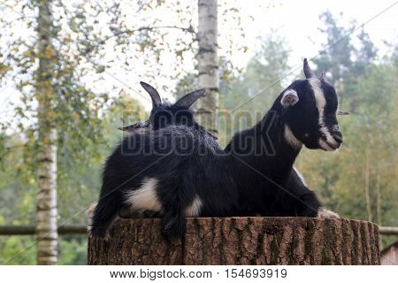 Two domestic goats on the stump of the large tree