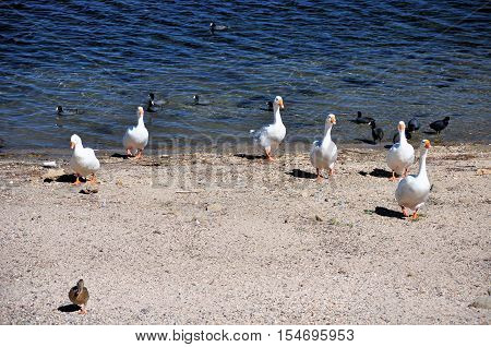 A group of geese wander the shoreline at Lake Arrowhead in Southern California.
