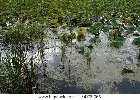 Wetland with lily pads and grass in water along river