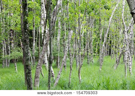 Birch tree forest in Acadia National Park.