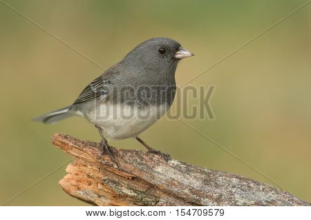 Dark-eyed Junco (hyemalis) on a stump with a green background