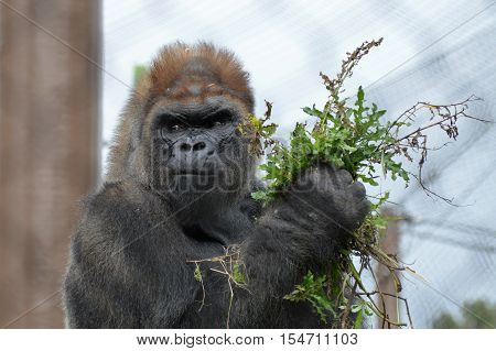 A western lowland gorilla during the summer