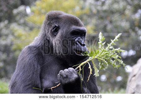 A western lowland gorilla outside during summer