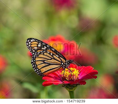 Monarch butterfly (Danaus plexippus) feeding on red Zinnia flower