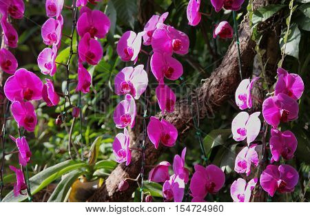 Flowering of colorful orchids Thailand South East Asia
