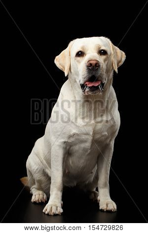 Beautiful beige Labrador retriever dog sitting in front of isolated black background