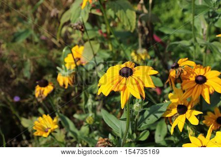 A beautiful image of Rudbeckia Hirta also know as a Coneflower