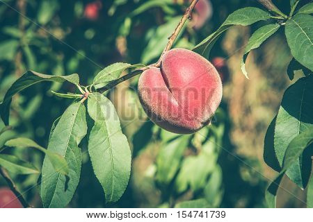 Ripening peach fruit hanging on a branch in the sunlight. Close-up selected focus