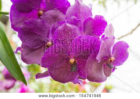 Vanda orchid, violet orchid, macro orchid, closeup orchids, orchid with pollens. Orchids in greenhouse