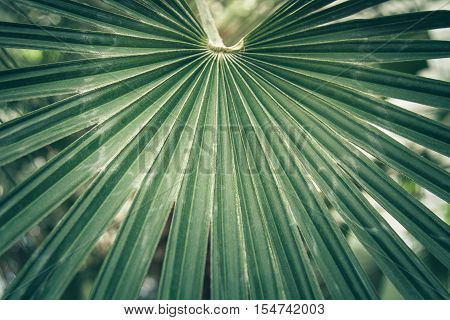 Fan leaf of a sabal palm also known as cabbage palmetto. Close-up selected focus