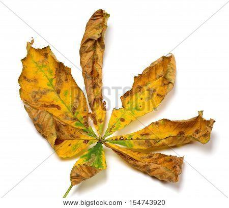 Dry Autumn Chestnut Leaf