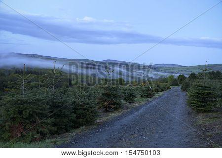 Mist shrouded the pine forest plantation during twilight