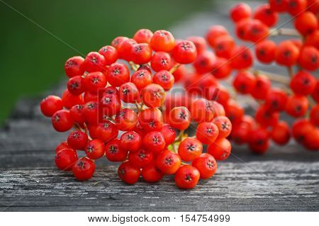 Rowanberries at autumn on a tree branch