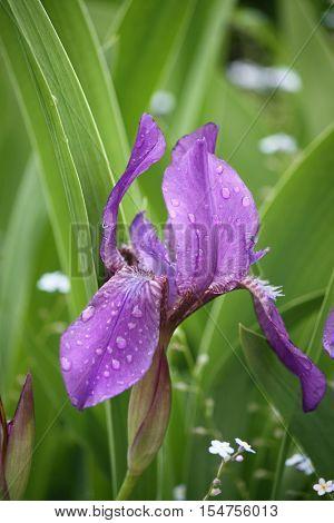 Beautiful purple iris flowers in the garden