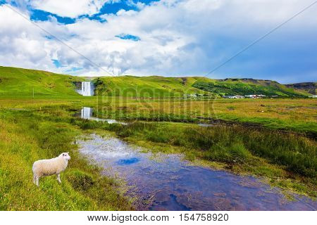 Grand waterfall Skogafoss in Iceland. White sheep grazing on a green meadow in front of a waterfall