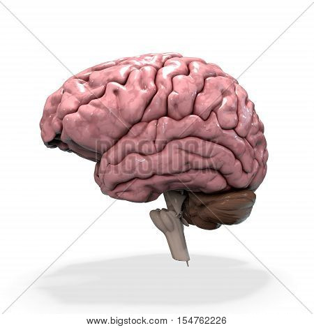 3D render illustration. medicall illustration of the human brain isolated on white