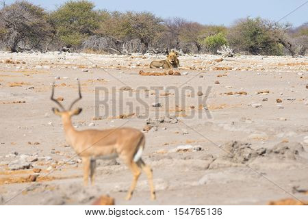 Young Male Lazy Lion Lying Down On The Ground In The Distance And Looking At Impala, Defocused In Th